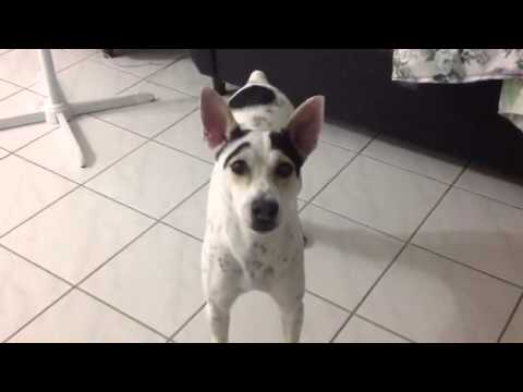 My female dog barking an moving tail