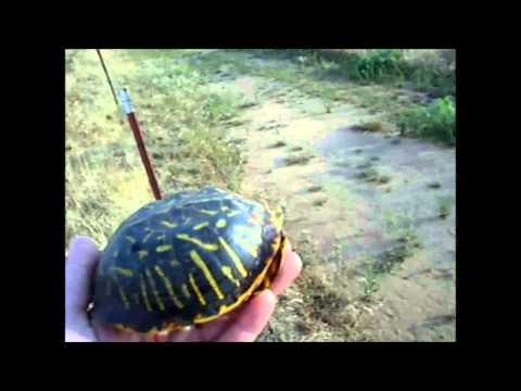 Helping Out A Wild Box Turtle - Wichita Falls Reptile Rescue