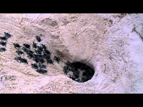 New Born, Baby Sea Turtles Race to the Ocean!