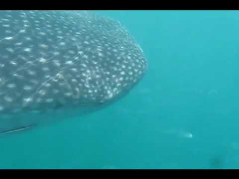 Swimming with whale sharks off Holbox Island Mexico