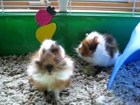 5 week old guinea pig baby update