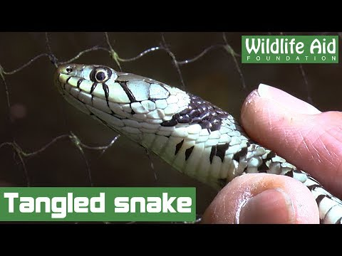Chunky grass snake trapped in pond netting