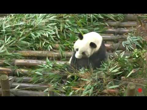 Giant Panda QING QING (Clip 1/6; Jan 28, 2017)