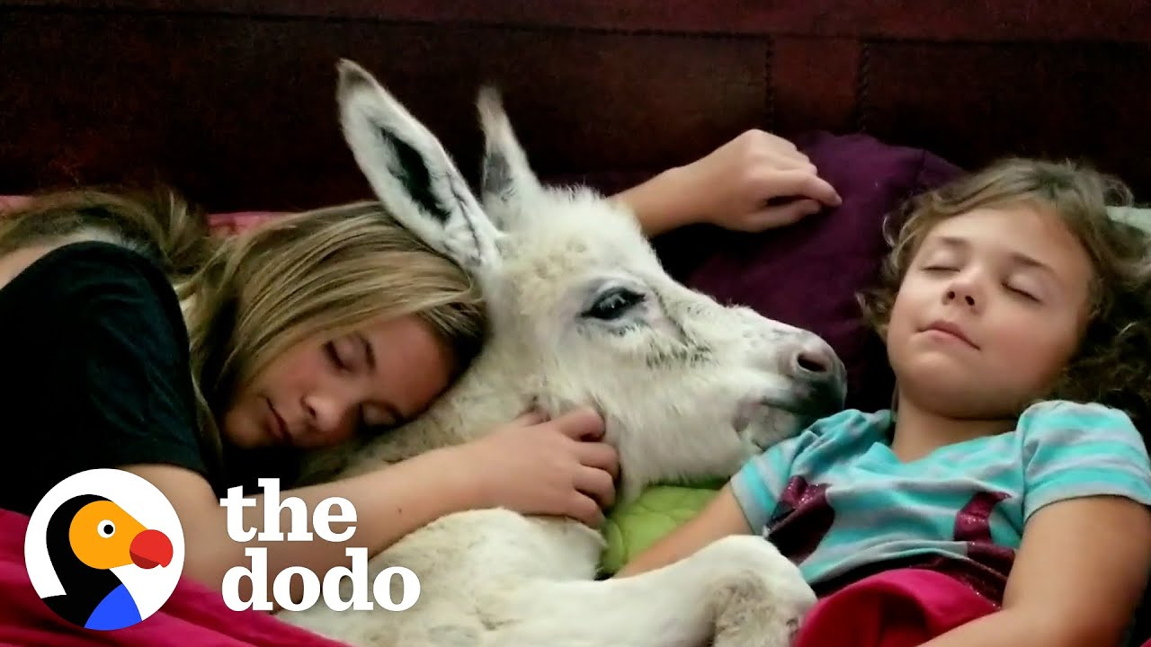 Sisters Have A Sleepover With... Their Tiny Baby Donkey?! | The Dodo Little But Fierce