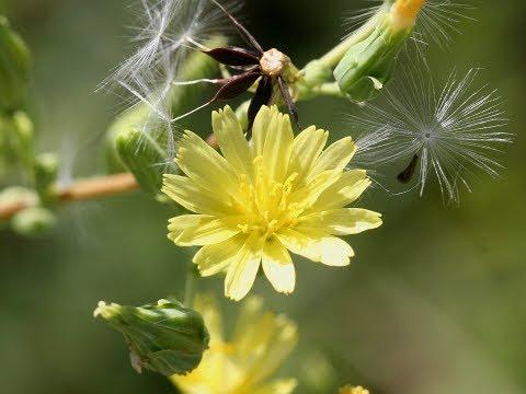 OPIUM LETTUCE TINCTURE - Lactuca Virosa/Serriola a.k.a. Prickly Lettuce - Lactucarium Tincture