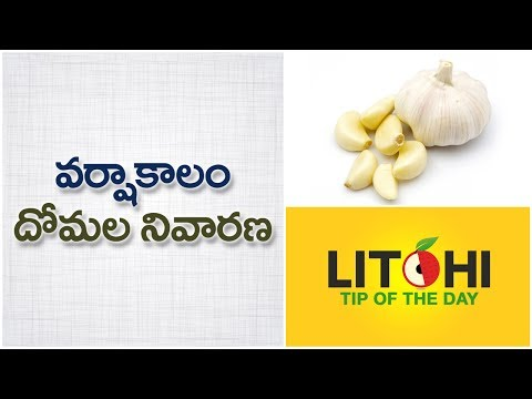 How to control mosquitoes in rainy season  Garlic for mosquitos Mosquito trap  Litchi Tip of the Day
