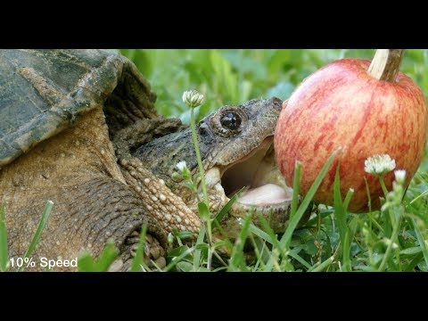 Snapping Turtle vs. Apple! (World Turtle Day Special)