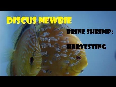 Brine Shrimp harvesting