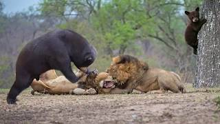 Lion Of The Andes Fail   Mother Gizzly Bear Save Baby From Puma Hunting