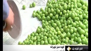 Iran Picking GreenPlum, Bandar-e Gaz county چيدن گوجه سبز شهرستان بندرگز گلستان ايران