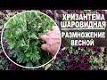 Download  Шаровидные хризантемы весной  Как рассадить для хорошего цветения MP3,3GP,MP4