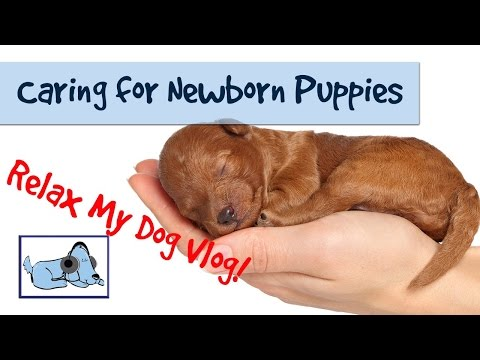 How to Care for Newborn Puppies - Caring for a Litter of Puppies 🐶 #HEALTHVLOG04