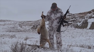 Cow Trails and Coyotes!  Calf Killer Down!