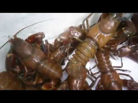 Crayfish trapping from shore in BC: A little trailer of things to come