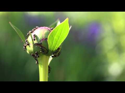 Ants on peony flowers - Extrafloral nectaries and plant-ant mutualism