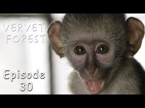 Orphaned Baby Vervet Monkey - Trisha Gets Thrush Infection - Ep. 30