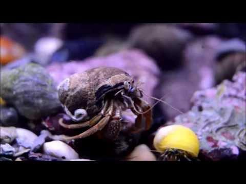 UK cold saltwater rock pool aquarium hermit crab battles
