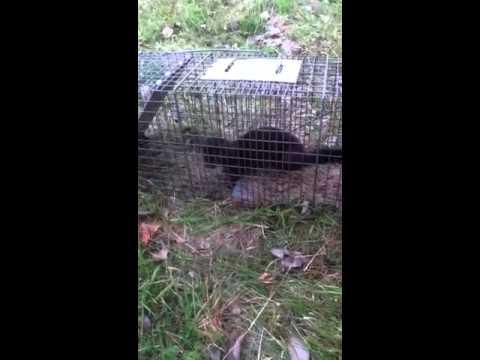 Mink in trap