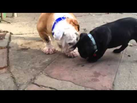 Neglected Bulldog Rescue With Swollen Paws!