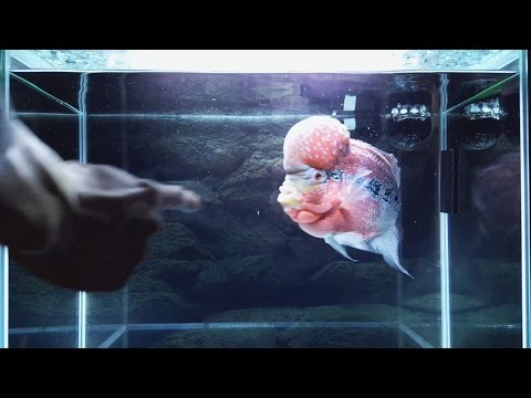How to Train a Flowerhorn to Follow Your Finger.