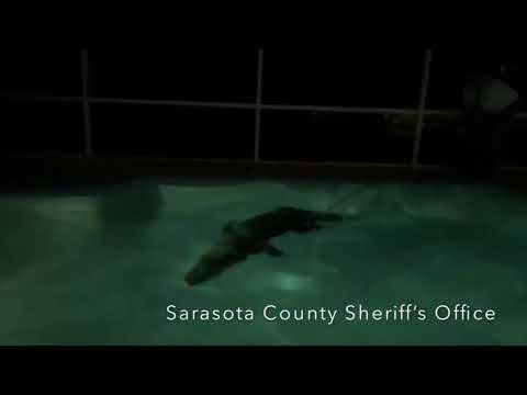 Huge alligator in Florida pool