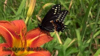 Diy Butterfly House Black Swallowtail Butterfly Or Parsley Caterpillar