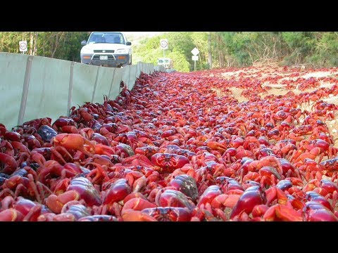 1,000,000 Red Crabs On Australian Island