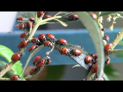 You can buy Ladybugs on Amazon, right now!
