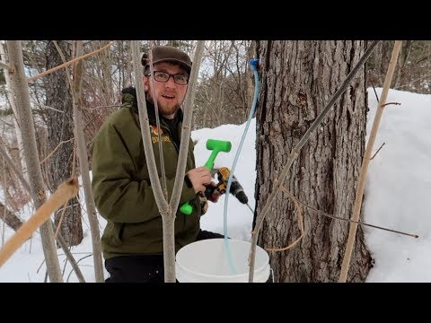 Best way we've ever tapped our Maple Trees ~ Making Maple Syrup