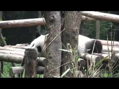 Panda - Survival or Extinction