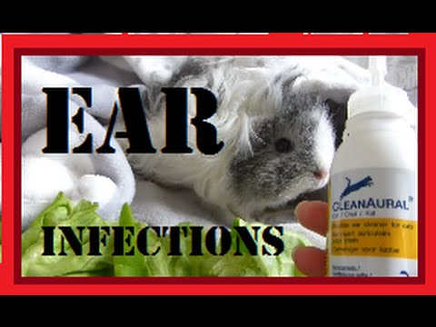 Ear Infections in Guinea Pigs!