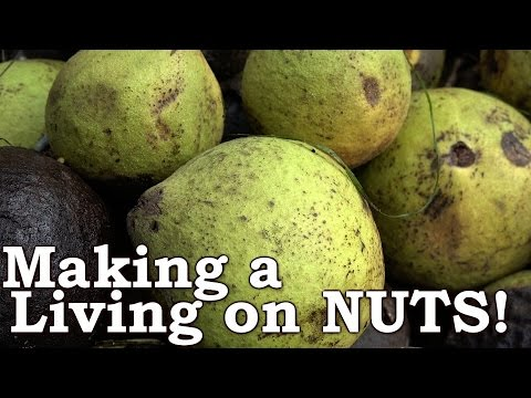 BUSTING NUTS!!!   Black Walnuts as Survival Food   Make A Living From Nuts!