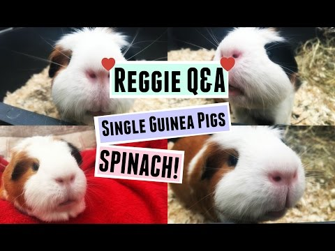 REGGIE Q&A: Single Guinea Pigs & Spinach! | RosieBunneh