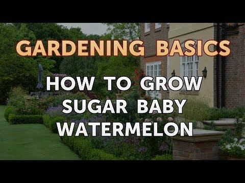 How to Grow Sugar Baby Watermelon