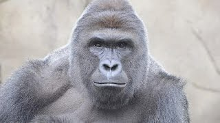 The Harambe The Gorilla Meme GOES TOO FAR?! | What's Trending Now