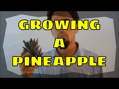 How To Grow A Pineapple Plant And Get FRUIT!!