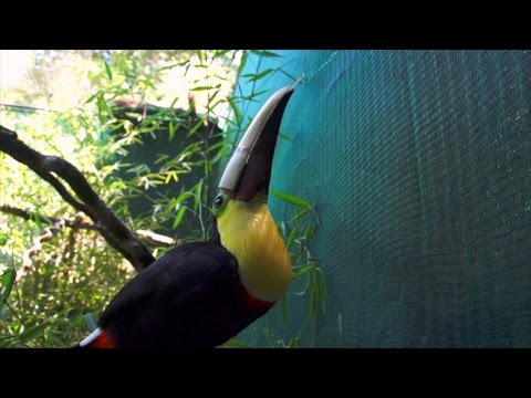 Meet Grecia: The Toucan with a Brand New Beak!