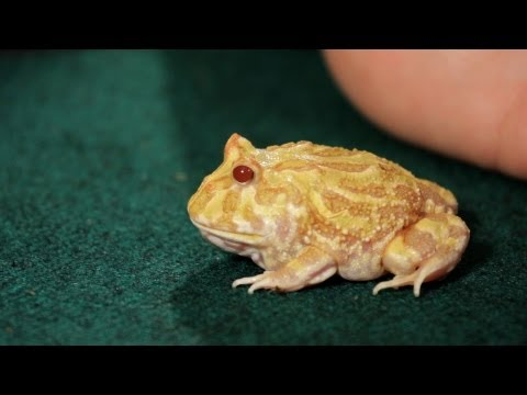3 Care Tips for Pac-Man Frogs | Pet Reptiles