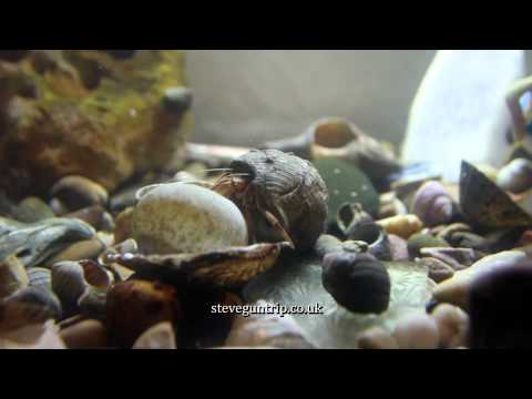 Pagurus Bernhardus Hermit Crab changes shell. Slow motion at the end.