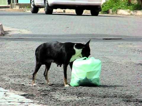 Dog eats garbage - stray dog in Granada, Nicaragua