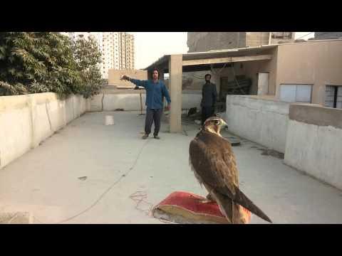 Red naped falcon training