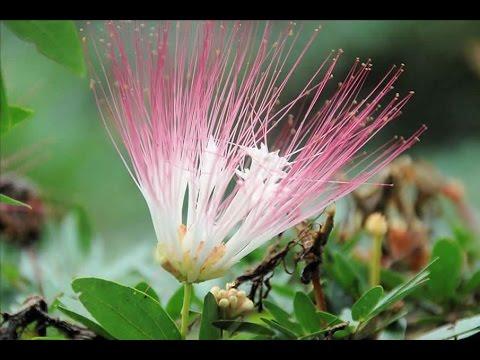 amazon flowers - amazon amaryllis flowers