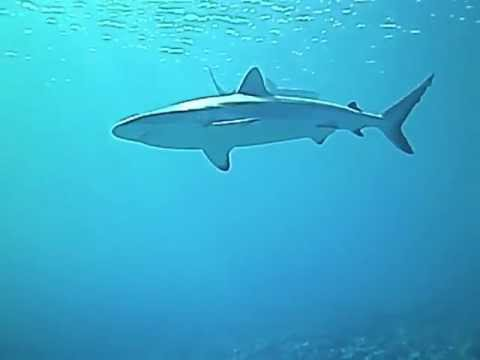 Reef shark safety stop while diving Vertigo with Yap Divers, Micronesia