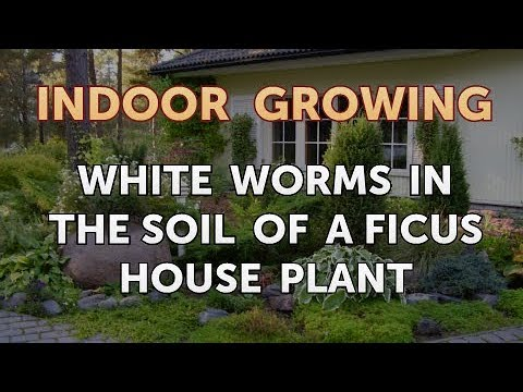 White Worms in the Soil of a Ficus House Plant