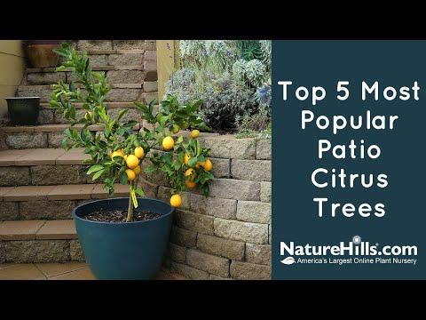 Top 5 Most Popular Patio Citrus Trees | NatureHills.com