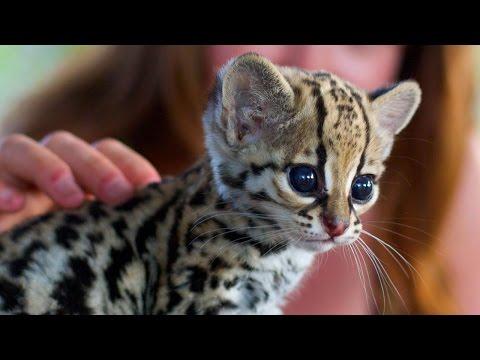 10 Rarest Cat Breeds In The World