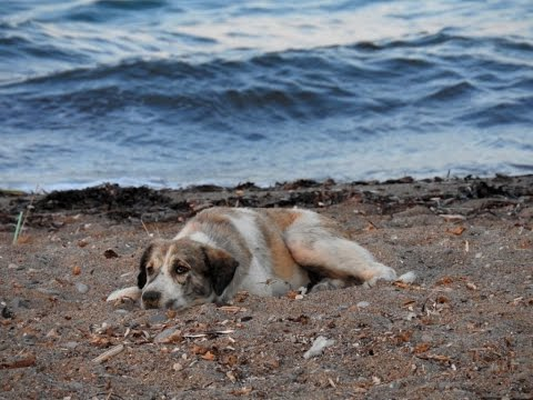 Chasing a dream - A stray therapy dog