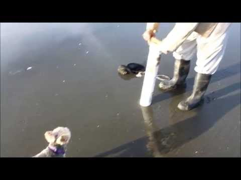 Let's Go Clamming - How to go clamming for Pacific Razor Clams, Westport, Washington.