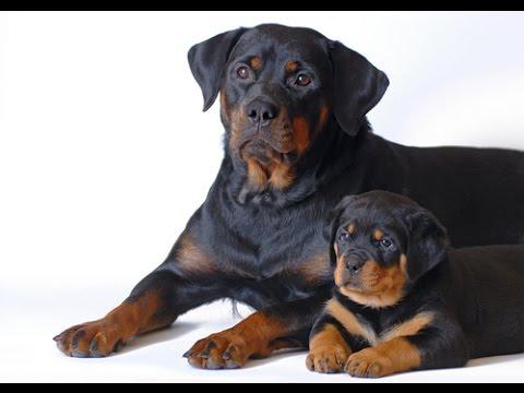 Rottweiler - Dog Breed