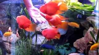 Feeding my RED PARROT FISH and other ciclids...